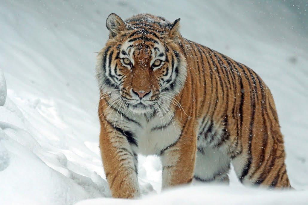 Tigerauge
